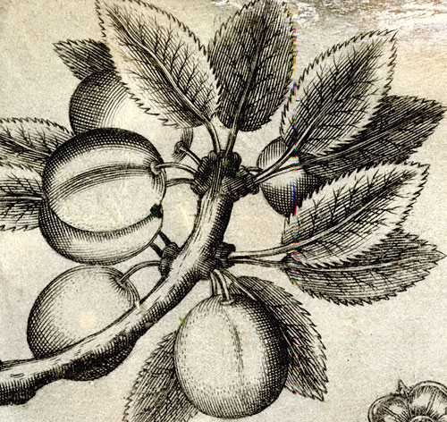Engraving of fruit in border of Royal Letters Patent, 1670 (ETO/16)
